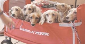 These pups waited patiently in their wagon to be blessed by Rev. Don Davidson and Rev. Canon Michael P. Spencer at St. Christopher's Episcopal Church, Oct. 5.