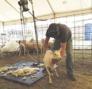 Sheep shearing at the Genesee County Fair in 2019. File photo
