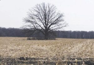 The old oak tree on Perry Road will be preserved under the provisions of Atlas Township's site plan review ordinance. Photo by Lania Rocha
